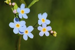 Eng-forglemmigej (Myosotis scorpioides)